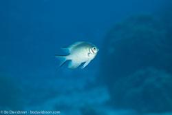BD-100920-Fury-Shoal-1740-Amblyglyphidodon-leucogaster-(Bleeker.-1847)-[Whitebelly-damselfish].jpg